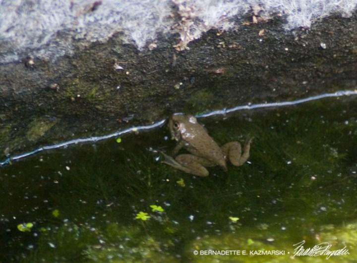 A littler frog.