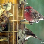 House finch and sparrows