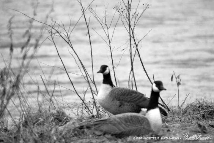 The Worried Geese