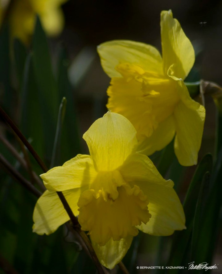 King Alfred daffodils