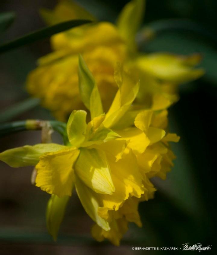 Vintge Daffodils