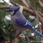 Blue jay in profile