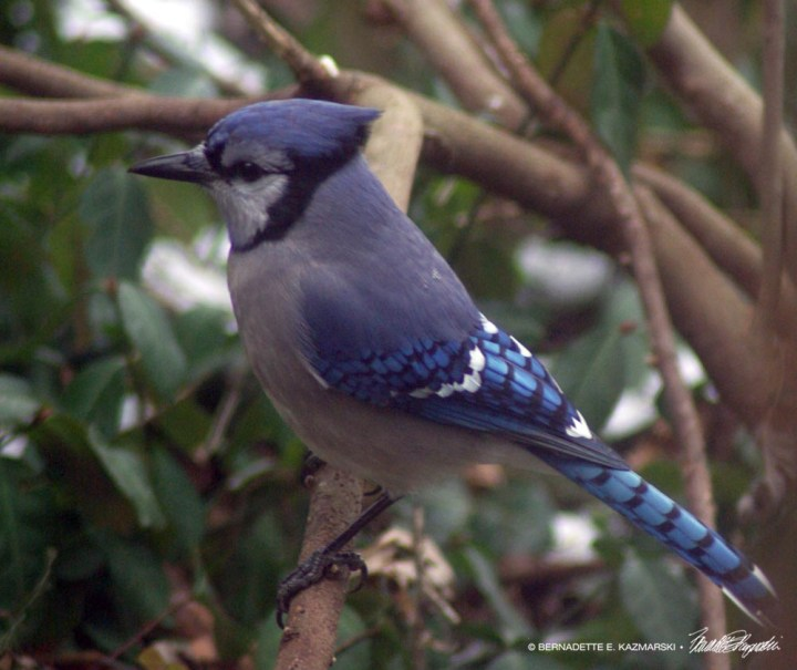 Blue jay in profile