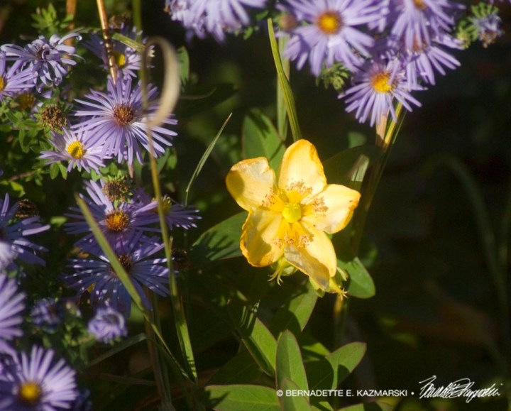 Hypericum and Aster