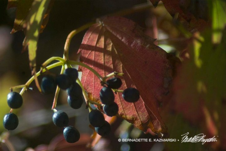 Cotoneaster berries 1