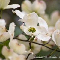 Dogwood Blossoms, and a Poem