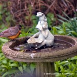 robin at birdbath