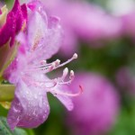 rhododendron flower with raindrops