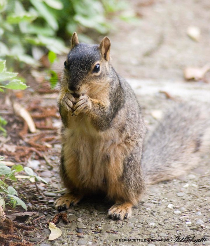 squirrel eating maple seed