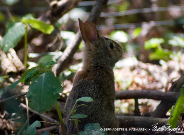 young cottontail rabbit