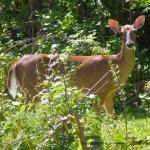 doe in garden