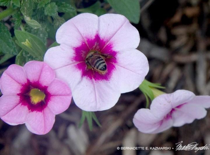 bee in petunia