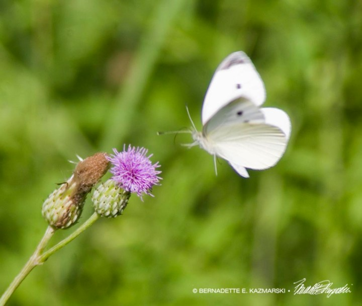 cabbage white butterfly with knapweed