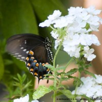 Tiger Swallowtail Black Phase