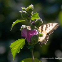 Two Tiger Swallowtails