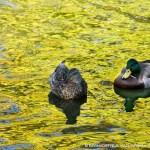 mallards on water
