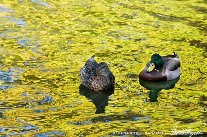 mallards on water