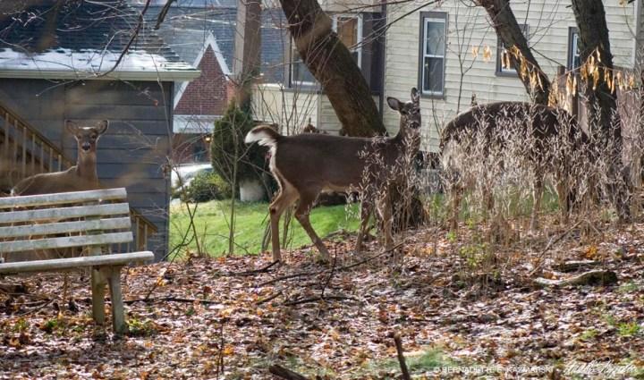 three deer in the back yard