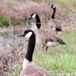 canada geese at creek