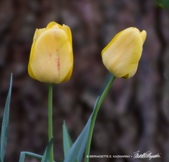 two yellow tulips