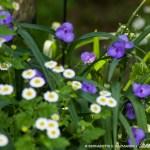 spiderwort and feverfew