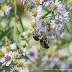 bumblebees on asters