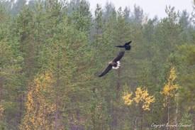 Pygargue à queue blanche taquiné par un Grand Corbeau