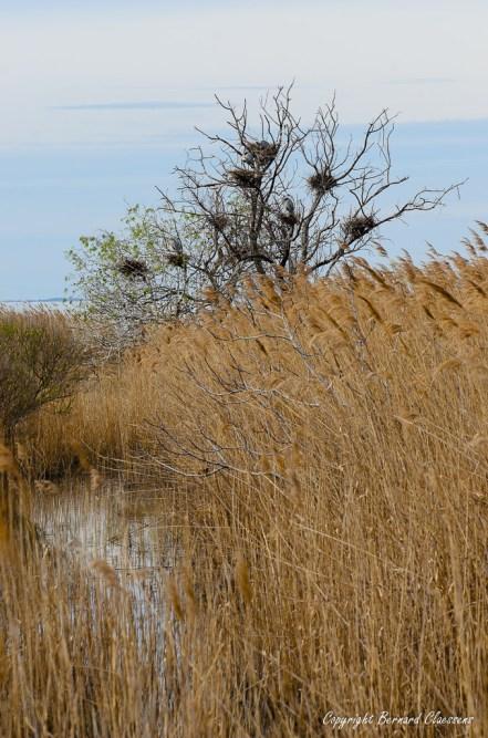 Héronnière en bout de l'étang de Vaccarès