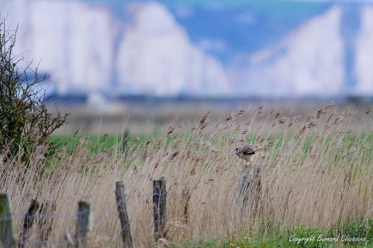Le Hâble d'Ault (80): une halte appréciée des Hiboux des marais