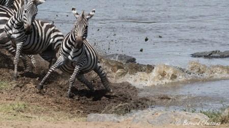 S'abreuver à la Mara n'est pas sans danger!