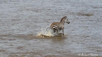 Un petit, isolé, s'échappe de justesse par dessus le Crocodile qui avait essayé de l'attraper!