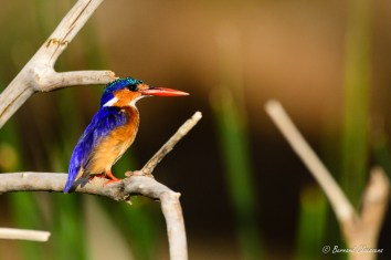 ou Malachite Kingfisher