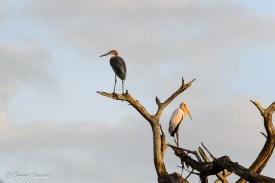 _Héron goliath et Tantale ibis