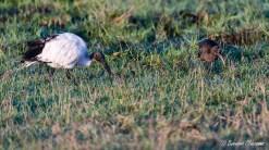 Ibis sacré et Ibis falcinelle