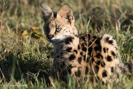 Serval au repos