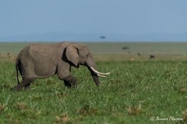 La marche de l'Eléphant dans le marais presque à sec