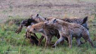 Jeunes Hyènes tachetées se disputant une carcasse d'aigle