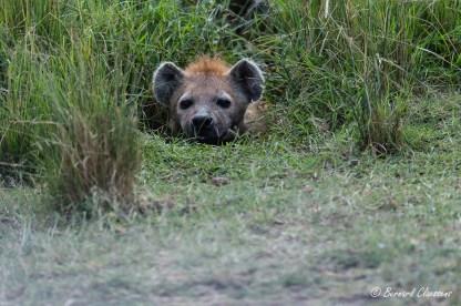 Cette Hyène était couchée tous les jours dans le même trou d'eau...