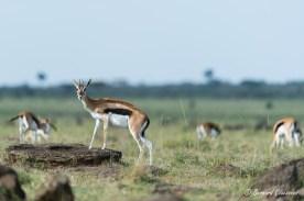 Gazelle de Thomson (femelle)
