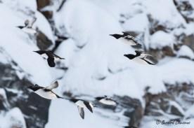 Pingouin torda et son escorte de Guillemots de Troïl