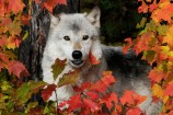 Inquisitive Wolf in Fall, G. Westerfoff