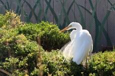 Snowy Egret - Living Coast Discovery Center