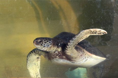 Endangered Eastern Pacific Green Sea Turtles - Living Coast Discovery Center