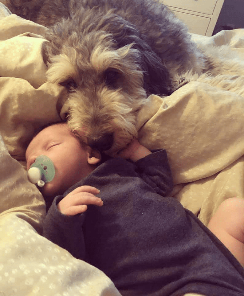 Willow Brooke Bernedoodle Puppies