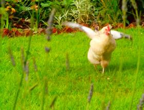 one of our free range hens