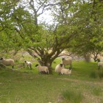 sheep opposite Cerdyn Villa