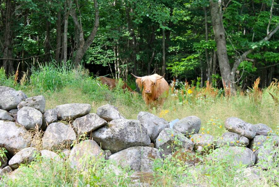 Scottish Highlander cows from Miles Smith Farm help to manage pasture in Spring, Summer and Fall