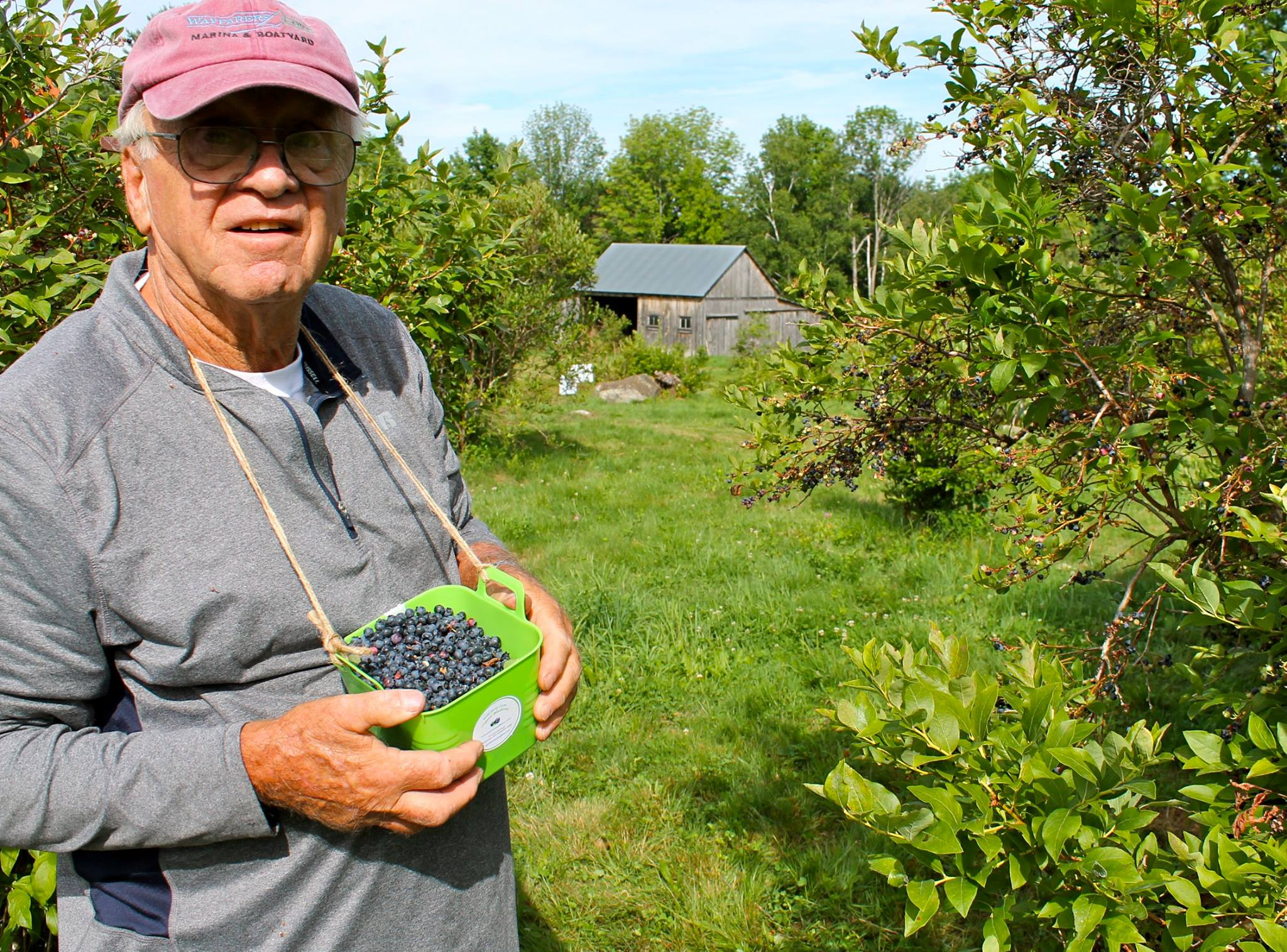 Blueberry picking is a fun event for the entire family.