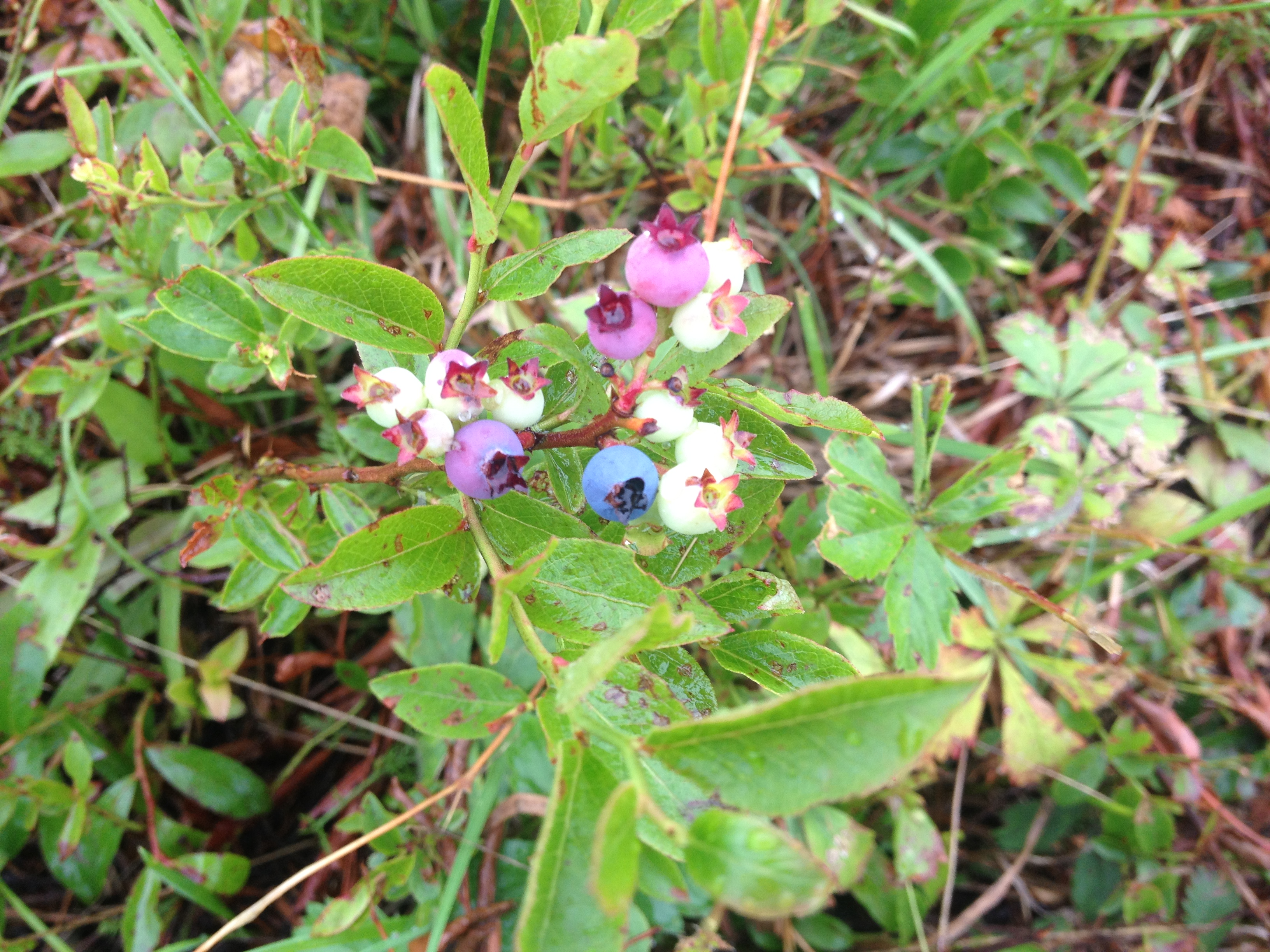 As the blueberries ripen, they colors change from green, to yellow with a slight pink tone at the top, then the deep blue. These berries have a few more weeks before they are ready to pick.