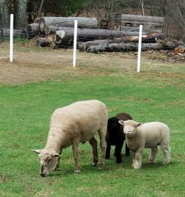 Popsi and the lambs-Salt and Pepper. Popsi loves to run around the yard with Oliver.